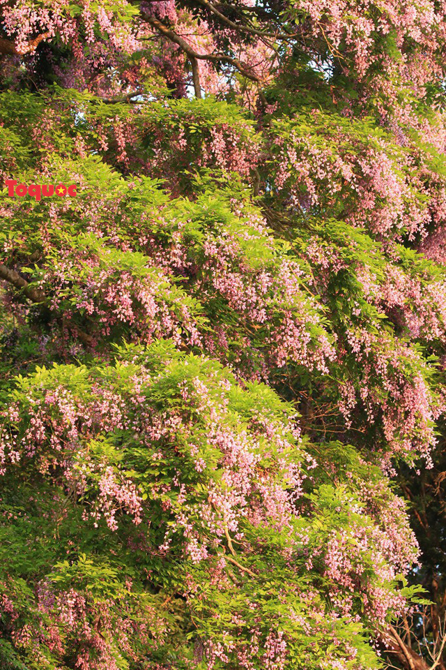Mê mẩn mùa hoa tím trên bán đảo Sơn Trà - Ảnh 3.