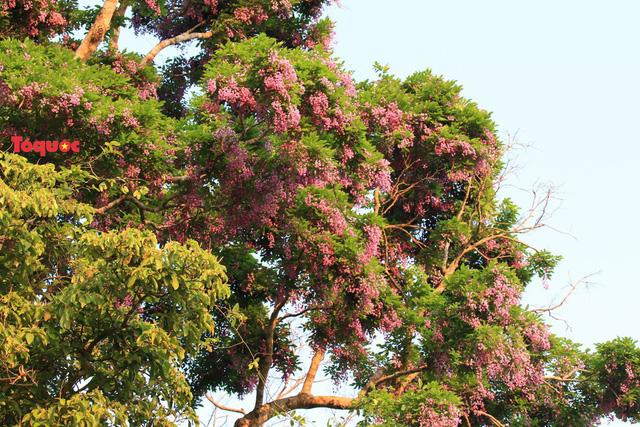 Mê mẩn mùa hoa tím trên bán đảo Sơn Trà - Ảnh 5.