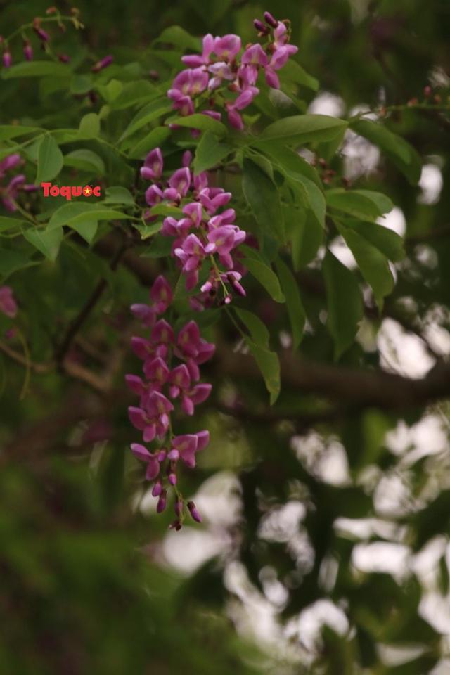 Mê mẩn mùa hoa tím trên bán đảo Sơn Trà - Ảnh 6.