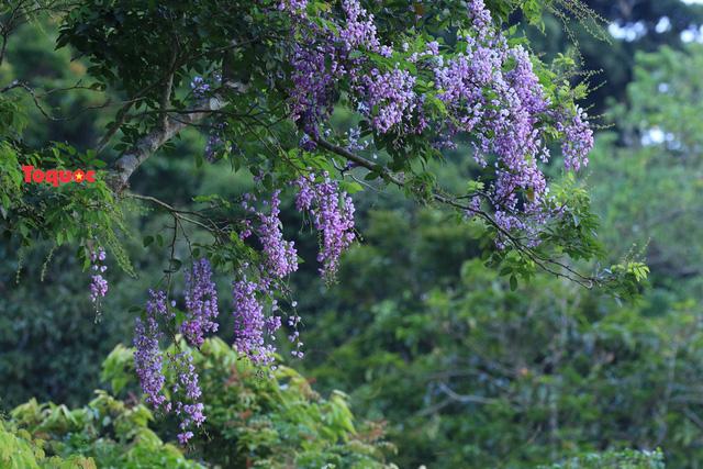 Mê mẩn mùa hoa tím trên bán đảo Sơn Trà - Ảnh 7.
