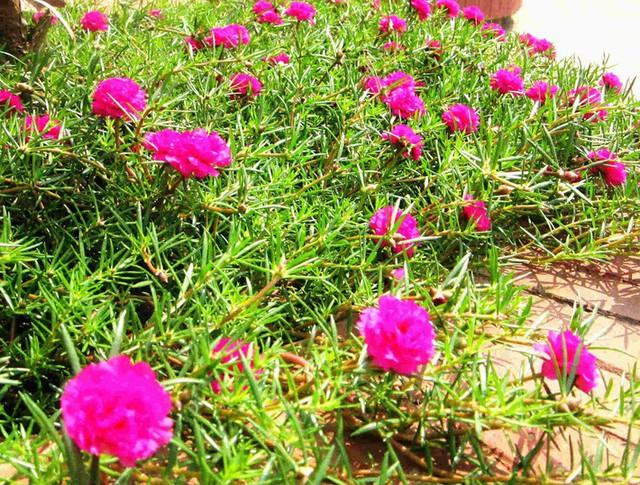 Nhiều người lựa chọn 5 giống hoa này để trồng vì chỉ cần cắm xuống là mọc tốt um - Ảnh 1.