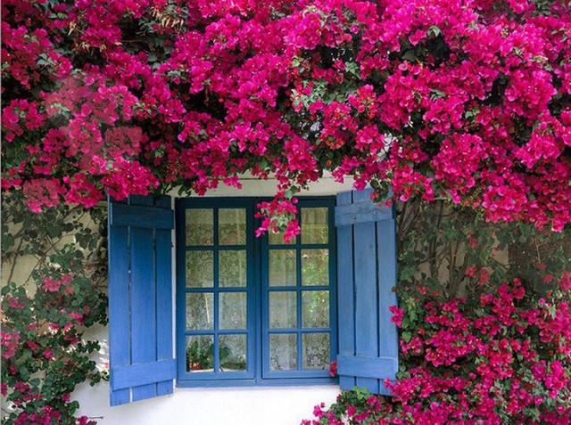 Nhiều người lựa chọn 5 giống hoa này để trồng vì chỉ cần cắm xuống là mọc tốt um - Ảnh 2.