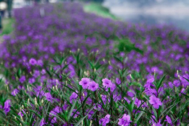 Nhiều người lựa chọn 5 giống hoa này để trồng vì chỉ cần cắm xuống là mọc tốt um - Ảnh 3.