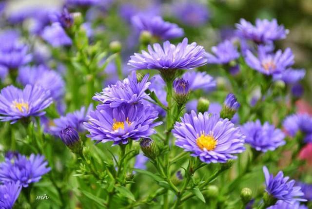 Nhiều người lựa chọn 5 giống hoa này để trồng vì chỉ cần cắm xuống là mọc tốt um - Ảnh 5.