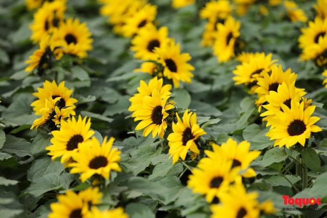 Rực rỡ sắc xuân ở làng hoa ven sông Hồng - Ảnh 6.