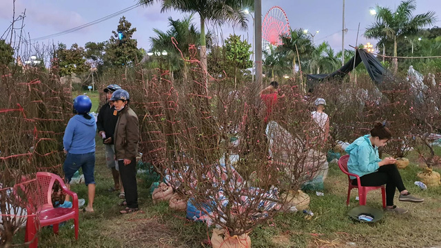 Nhiều người ở Đà Nẵng mua đào Nhật Tân để chơi Tết - Ảnh 3.