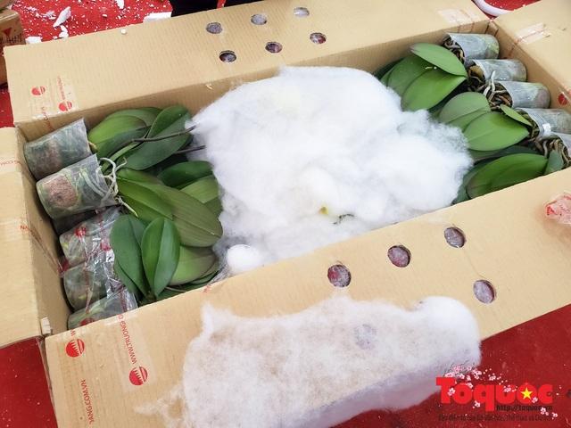 Vượt hàng vạn cây số lan hồ điệp Đà Lạt khoe sắc ở Thủ Đô, có những chậu giá hơn 100 triệu đồng - Ảnh 3.