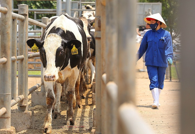 Thêm 1.645 con bò sữa Mỹ giống cao sản thuần chủng HF về trang trại TH - Ảnh 2.