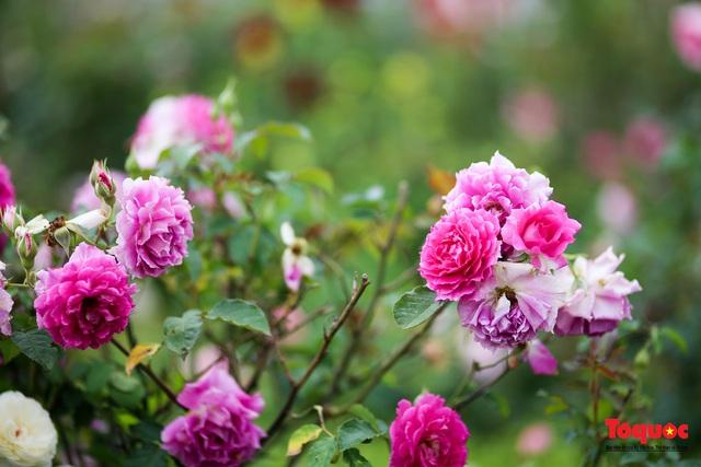 Ngắm thung lũng hoa hồng tuyệt đẹp nhận kỷ lục lớn nhất Việt Nam - Ảnh 5.