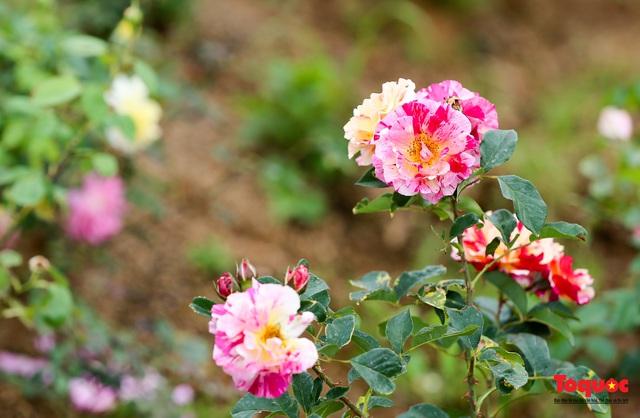 Ngắm thung lũng hoa hồng tuyệt đẹp nhận kỷ lục lớn nhất Việt Nam - Ảnh 14.