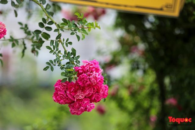 Ngắm thung lũng hoa hồng tuyệt đẹp nhận kỷ lục lớn nhất Việt Nam - Ảnh 11.