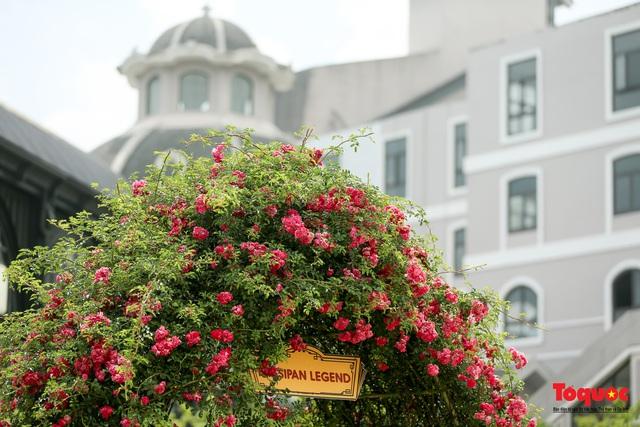 Ngắm thung lũng hoa hồng tuyệt đẹp nhận kỷ lục lớn nhất Việt Nam - Ảnh 12.