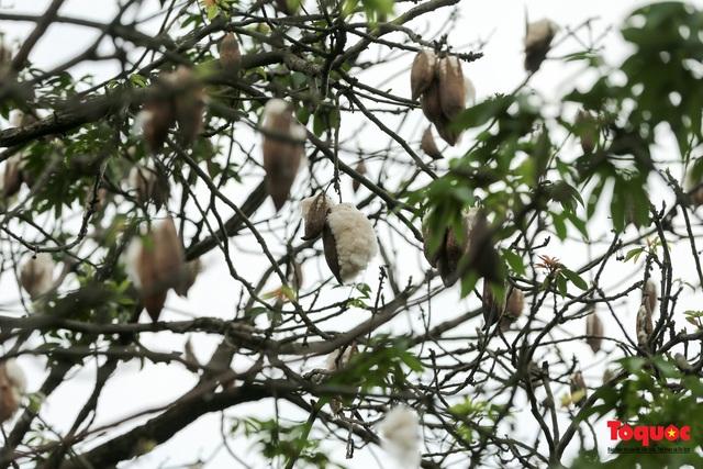 """Ngỡ ngàng những cây bông gòn cuối cùng ở Hà Nội nở """"hoa tuyết"""" - Ảnh 12."""