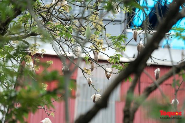 """Ngỡ ngàng những cây bông gòn cuối cùng ở Hà Nội nở """"hoa tuyết"""" - Ảnh 11."""