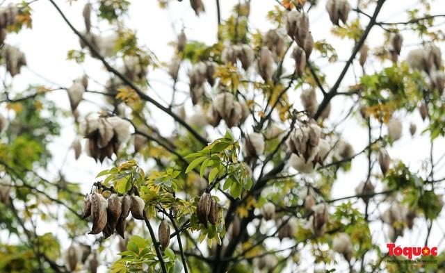 """Ngỡ ngàng những cây bông gòn cuối cùng ở Hà Nội nở """"hoa tuyết"""" - Ảnh 6."""