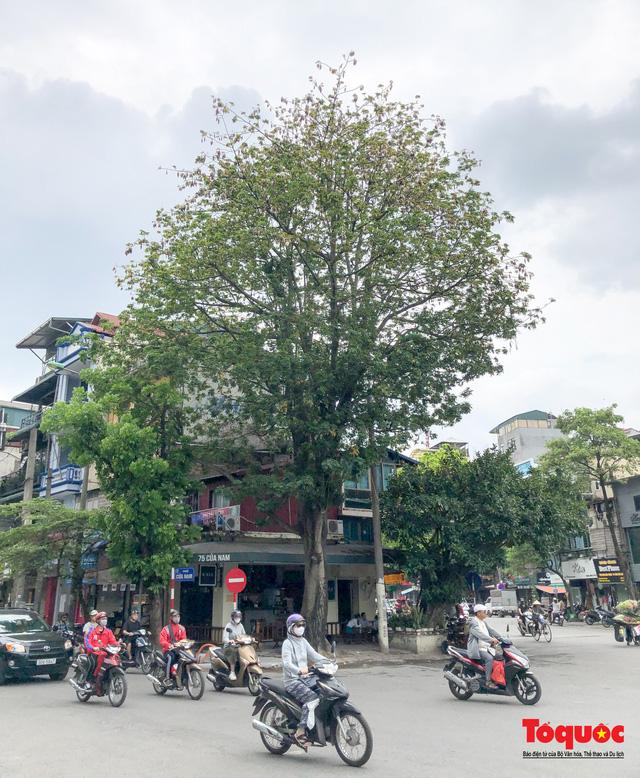 """Ngỡ ngàng những cây bông gòn cuối cùng ở Hà Nội nở """"hoa tuyết"""" - Ảnh 2."""