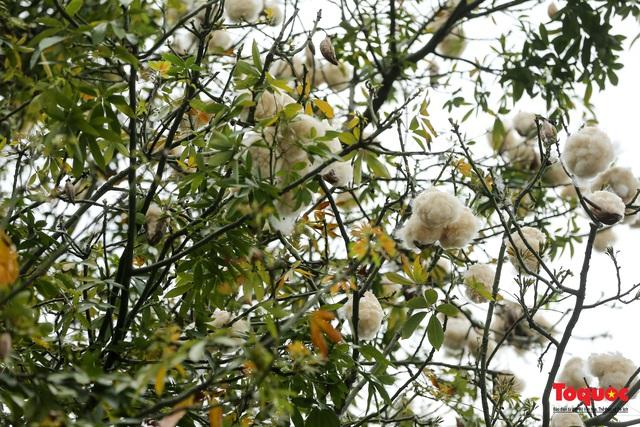 """Ngỡ ngàng những cây bông gòn cuối cùng ở Hà Nội nở """"hoa tuyết"""" - Ảnh 3."""