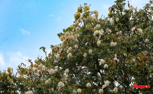 """Ngỡ ngàng những cây bông gòn cuối cùng ở Hà Nội nở """"hoa tuyết"""" - Ảnh 8."""
