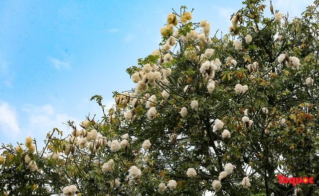 """Ngỡ ngàng những cây bông gòn cuối cùng ở Hà Nội nở """"hoa tuyết"""" - Ảnh 1."""