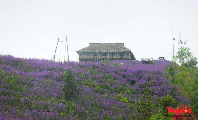 Tím lịm cánh đồng hoa Mã Tiền Thảo Sapa khoe sắc, đập tan cái nóng mùa hè - Ảnh 8.