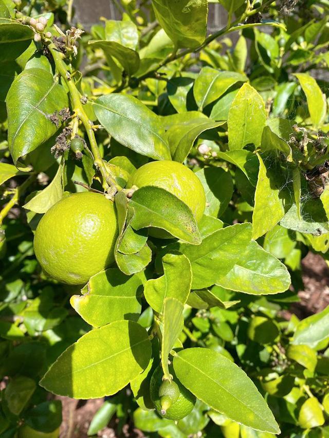 Trái cây sum xuê vườn nhà Nhật Tinh Anh đẹp như resort - Ảnh 2.