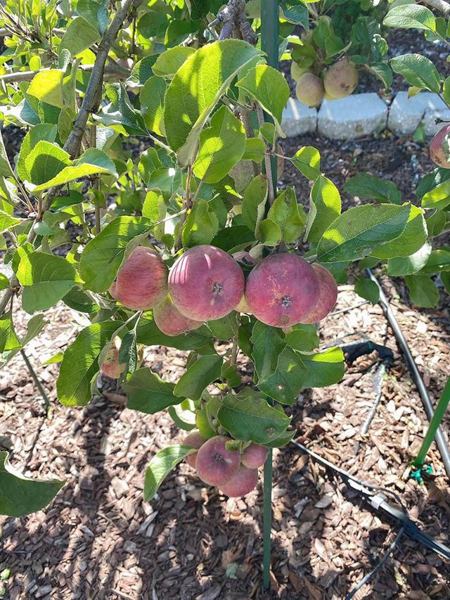 Trái cây sum xuê vườn nhà Nhật Tinh Anh đẹp như resort - Ảnh 4.
