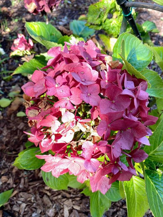 Trái cây sum xuê vườn nhà Nhật Tinh Anh đẹp như resort - Ảnh 7.