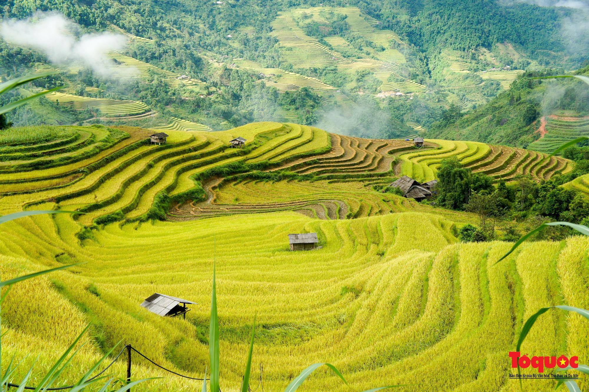 Chiêm ngưỡng vẻ đẹp ngỡ ngàng mùa lúa chín vàng của Hoàng Su Phì  - Ảnh 1.