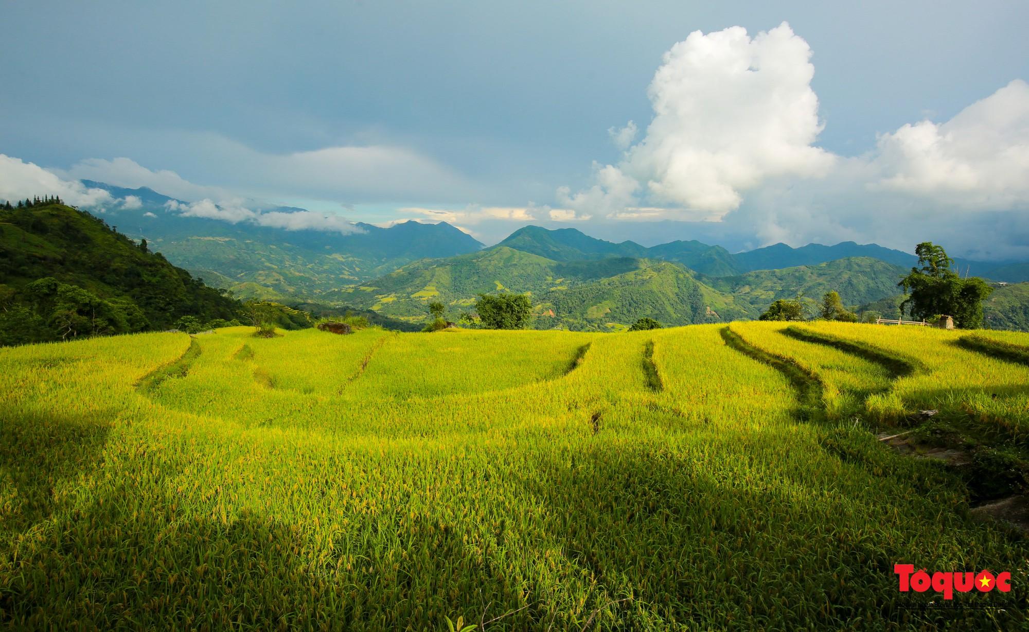 Chiêm ngưỡng vẻ đẹp ngỡ ngàng mùa lúa chín vàng của Hoàng Su Phì  - Ảnh 6.