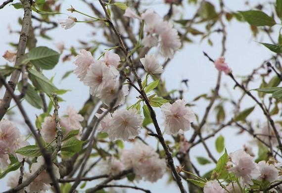 125 cây hoa anh đào Nhật Bản được trồng tại Đà Lạt  - Ảnh 1.