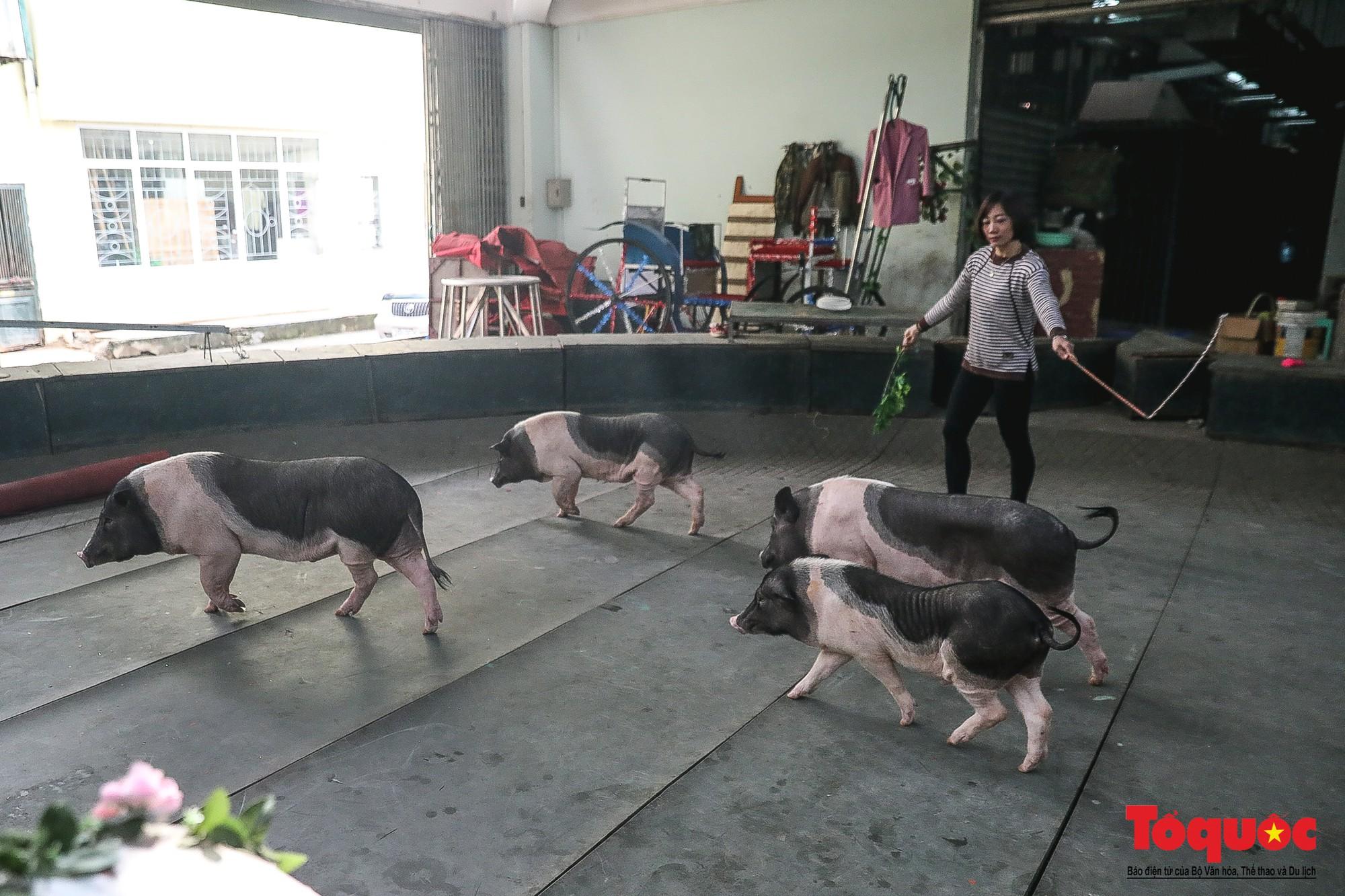 Năm Kỷ Hợi: Cùng khám phá nơi huấn luyện xiếc lợn đầu tiên của Việt Nam - Ảnh 2.