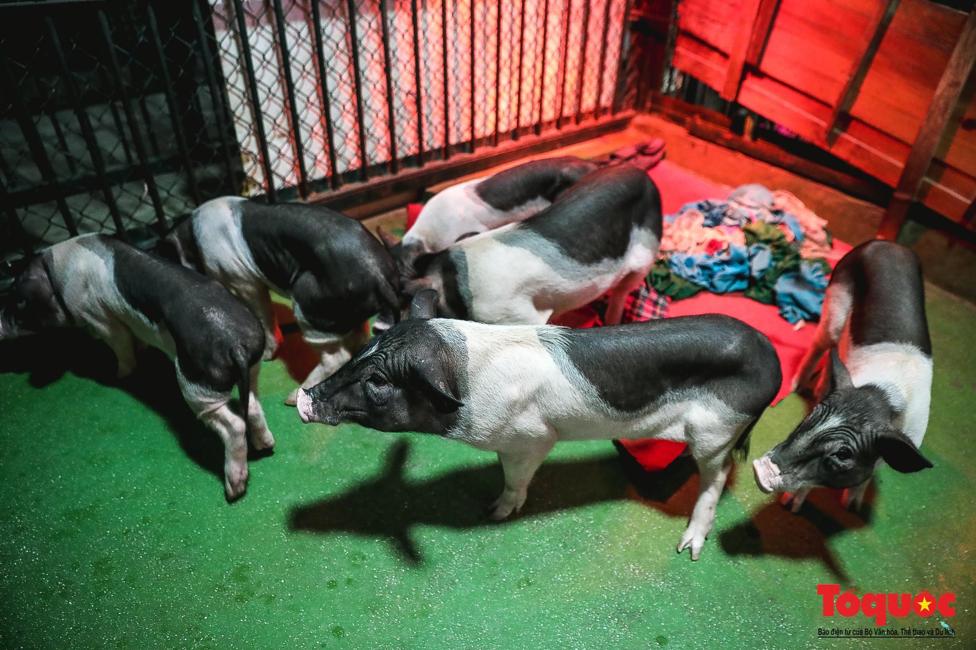 Năm Kỷ Hợi: Cùng khám phá nơi huấn luyện xiếc lợn đầu tiên của Việt Nam - Ảnh 12.