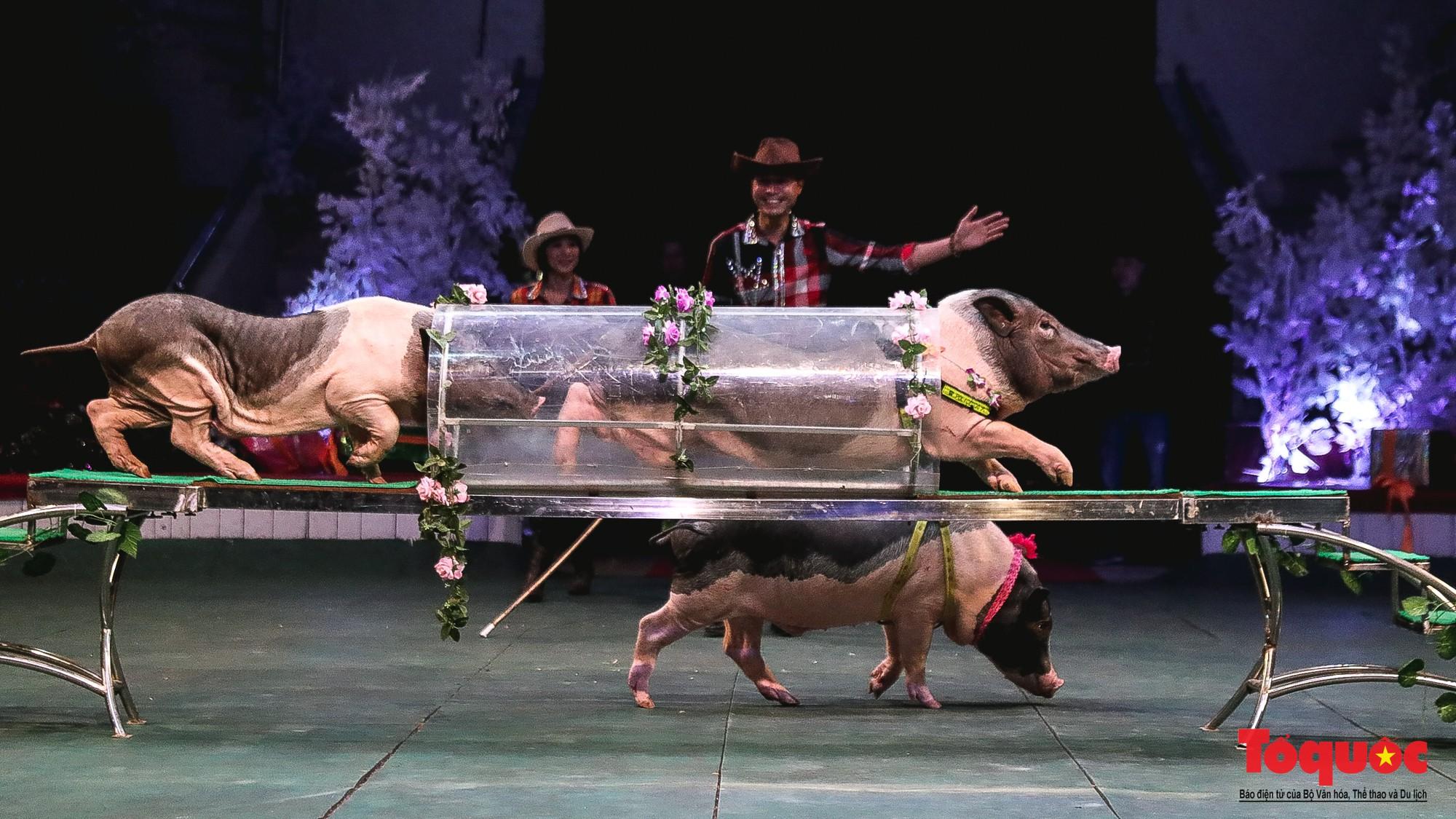 Năm Kỷ Hợi: Cùng khám phá nơi huấn luyện xiếc lợn đầu tiên của Việt Nam - Ảnh 15.