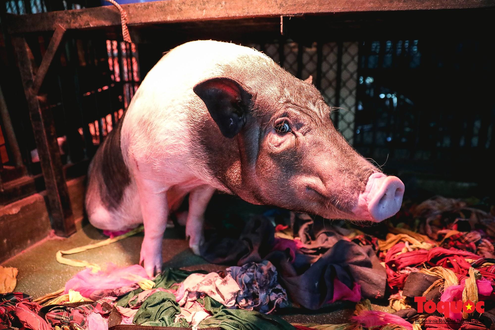 Năm Kỷ Hợi: Cùng khám phá nơi huấn luyện xiếc lợn đầu tiên của Việt Nam - Ảnh 9.