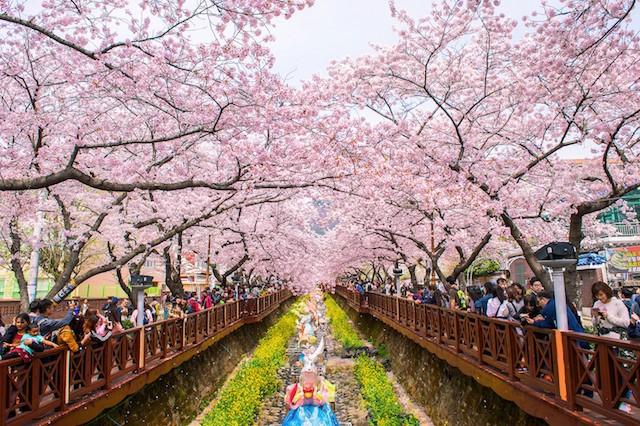 Tháng ba đến Hàn Quốc ngắm hoa anh đào - Ảnh 6.