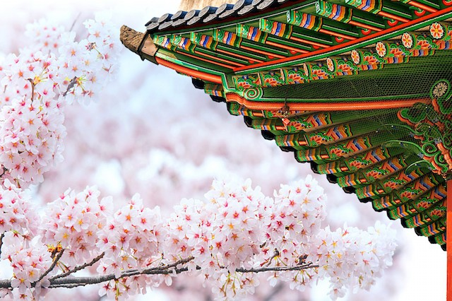 Tháng ba đến Hàn Quốc ngắm hoa anh đào - Ảnh 2.