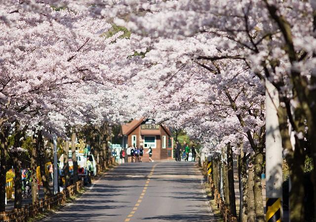 Tháng ba đến Hàn Quốc ngắm hoa anh đào - Ảnh 4.