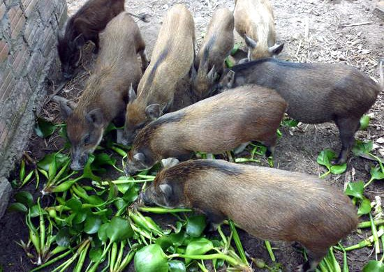 Lợn không được ăn rau chuối, bèo tây, thỏ không được ăn cà rốt: Chính phủ yêu cầu bãi bỏ - Ảnh 1.