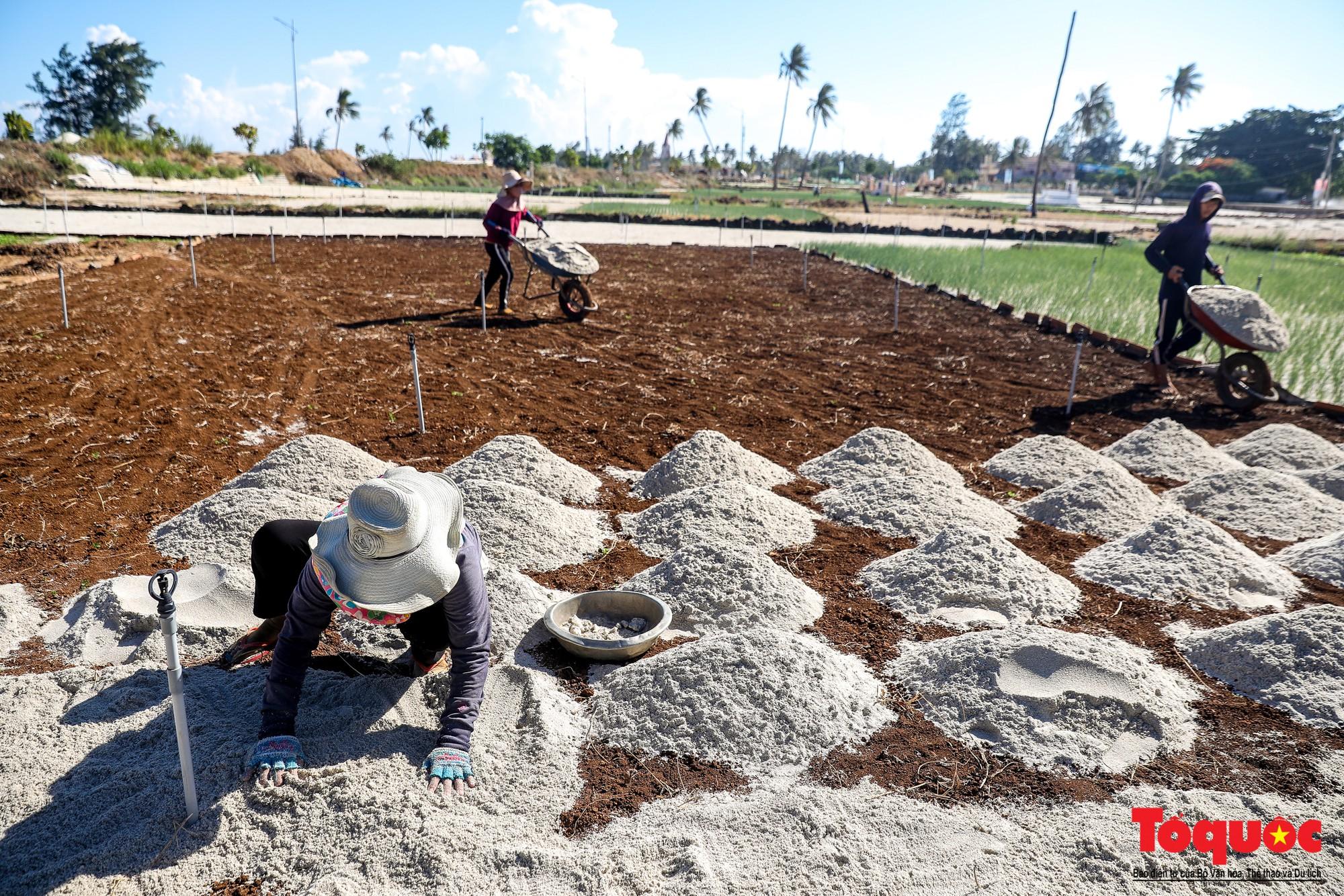Hành tím Lý Sơn vào mùa thu hoạch: Nông dân phấn khởi vì giá tăng gấp đôi năm ngoái  - Ảnh 11.