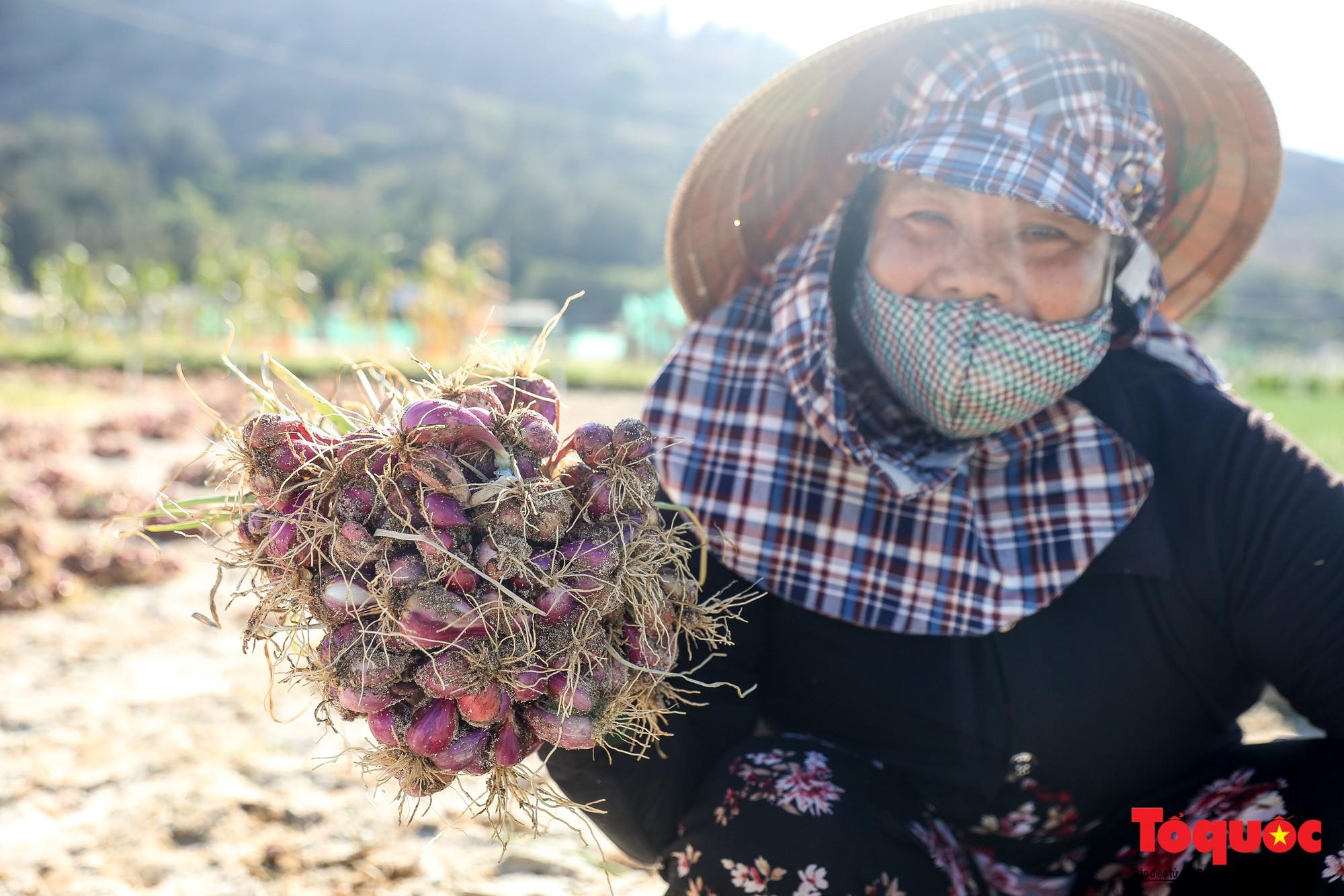 Hành tím Lý Sơn vào mùa thu hoạch: Nông dân phấn khởi vì giá tăng gấp đôi năm ngoái  - Ảnh 9.