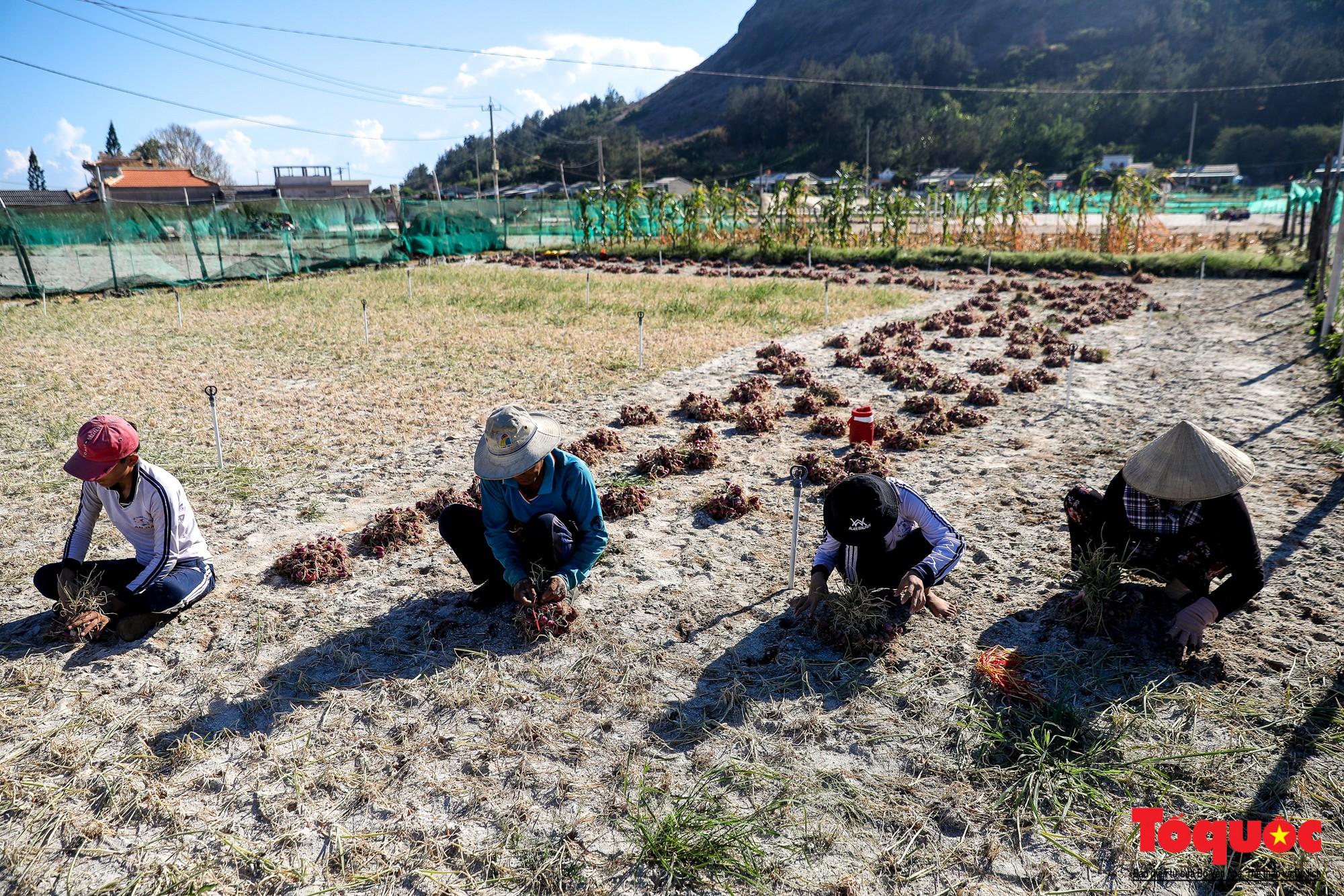 Hành tím Lý Sơn vào mùa thu hoạch: Nông dân phấn khởi vì giá tăng gấp đôi năm ngoái  - Ảnh 3.