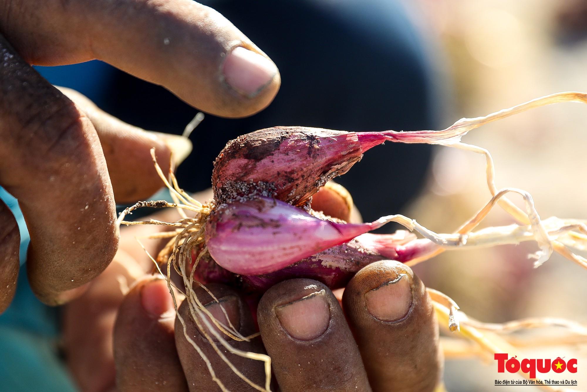 Hành tím Lý Sơn vào mùa thu hoạch: Nông dân phấn khởi vì giá tăng gấp đôi năm ngoái  - Ảnh 10.