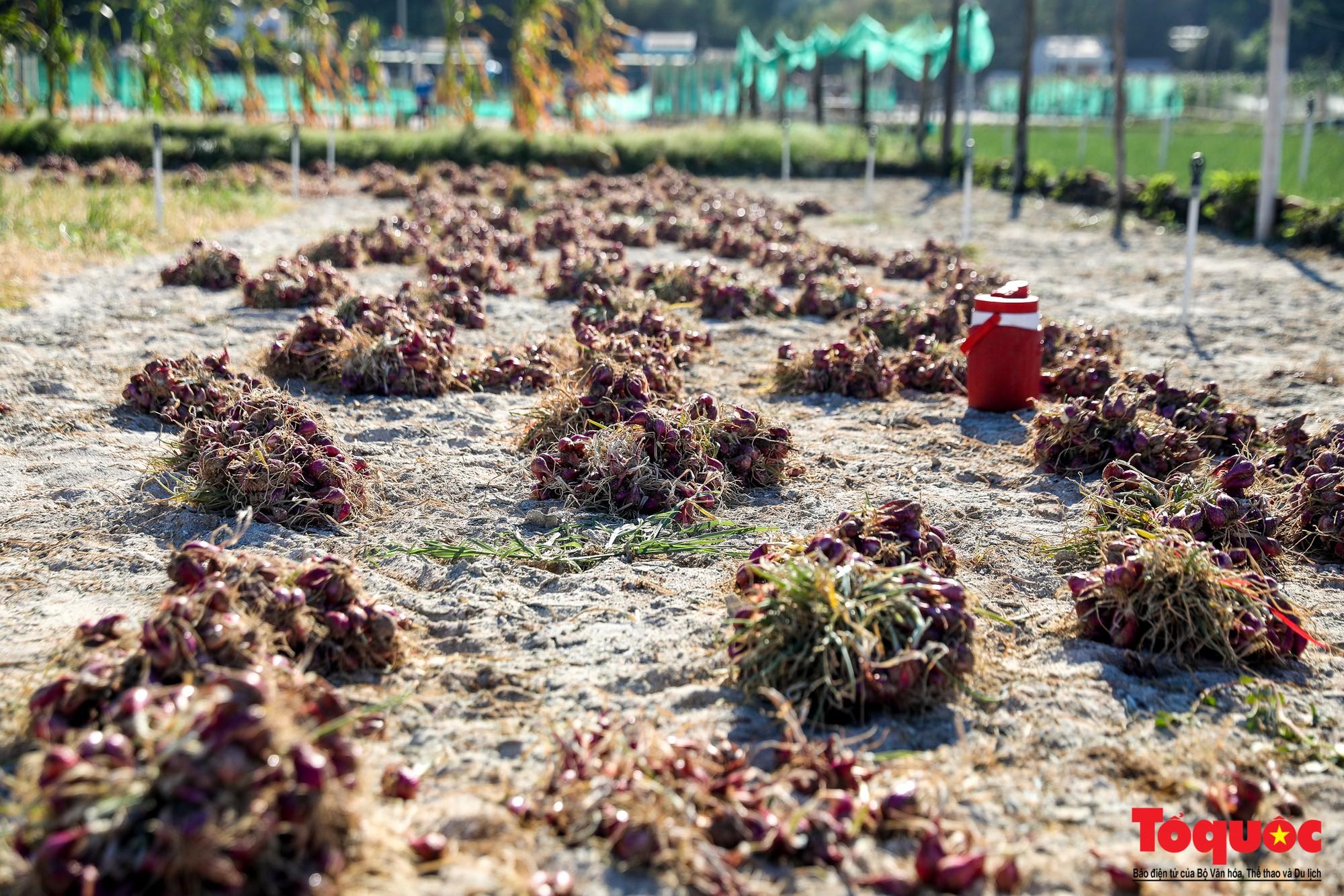 Hành tím Lý Sơn vào mùa thu hoạch: Nông dân phấn khởi vì giá tăng gấp đôi năm ngoái  - Ảnh 6.