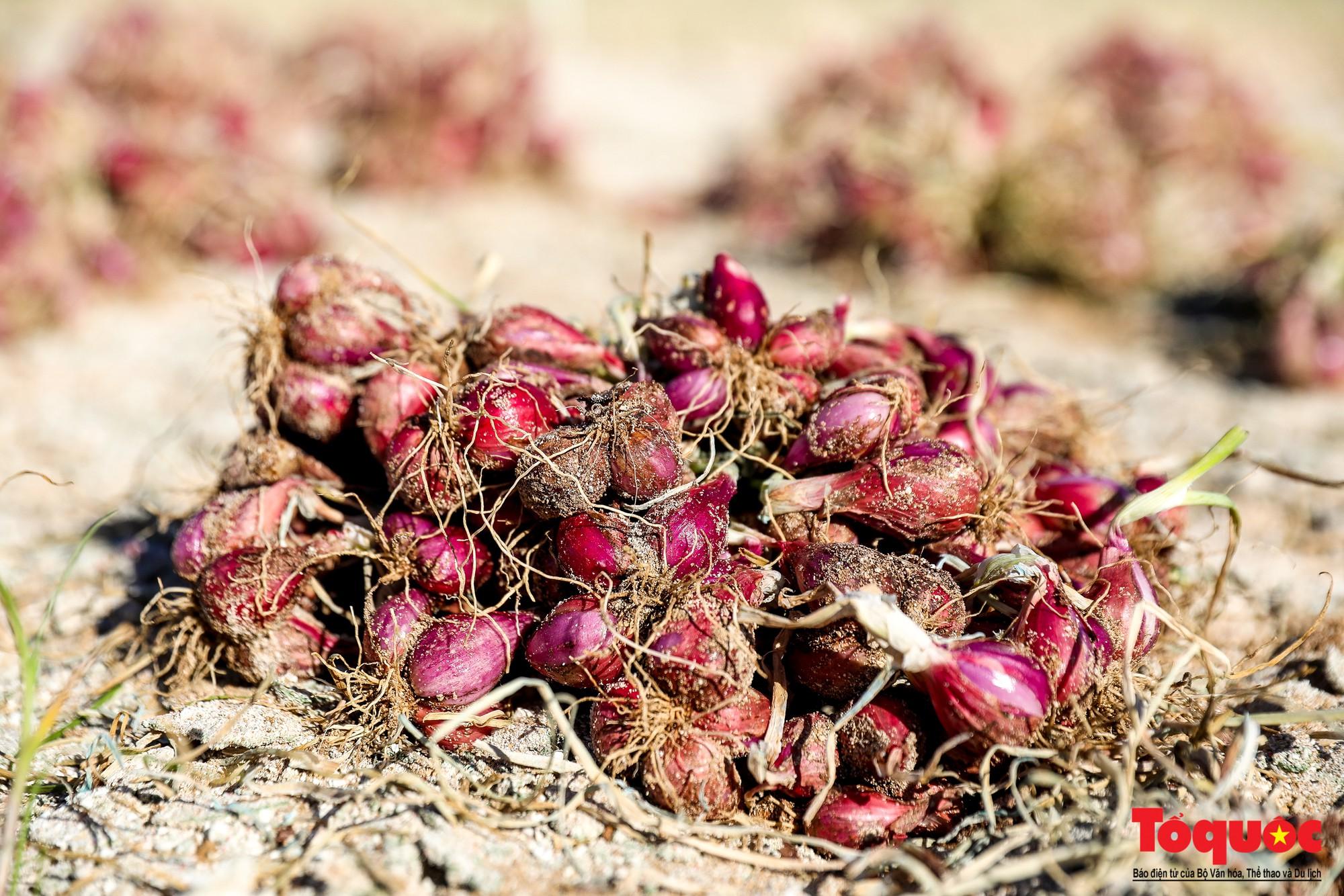 Hành tím Lý Sơn vào mùa thu hoạch: Nông dân phấn khởi vì giá tăng gấp đôi năm ngoái  - Ảnh 5.