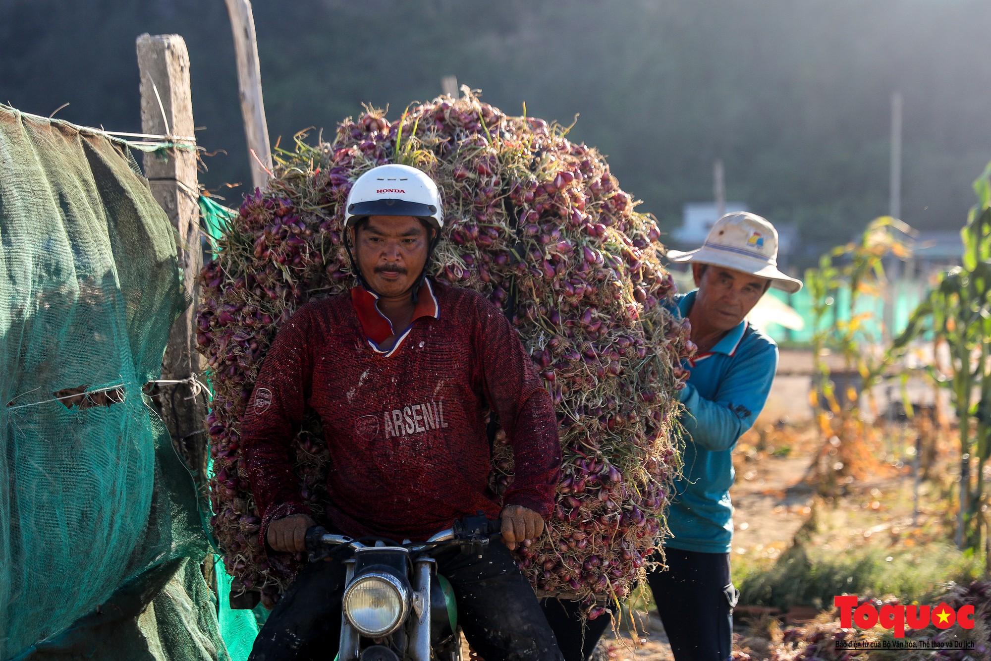 Hành tím Lý Sơn vào mùa thu hoạch: Nông dân phấn khởi vì giá tăng gấp đôi năm ngoái  - Ảnh 15.