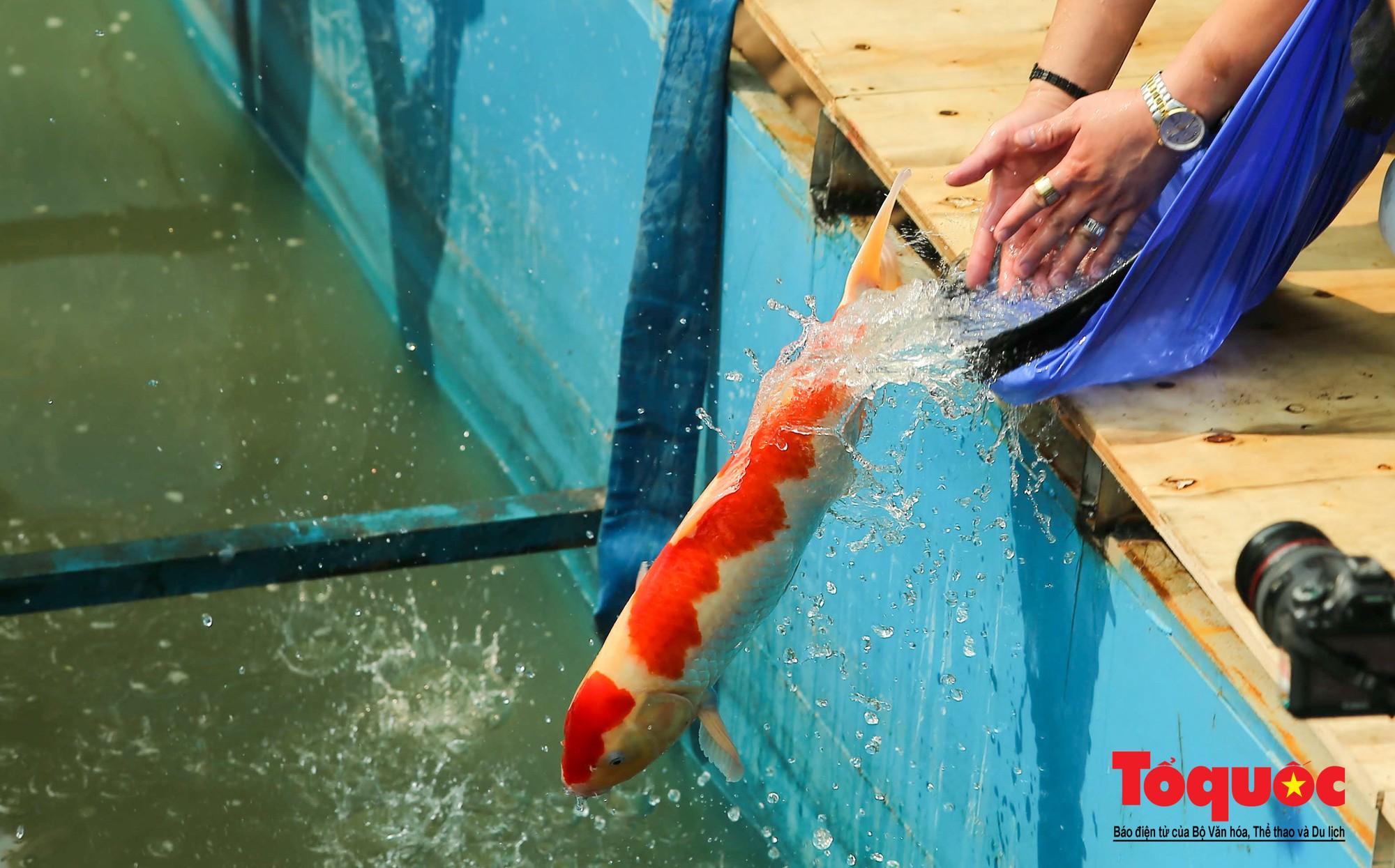 Hà Nội Thả thử nghiệm gần 100 con cá Koi Nhật Bản xuống sông tô lịch và Hồ Tây (3)