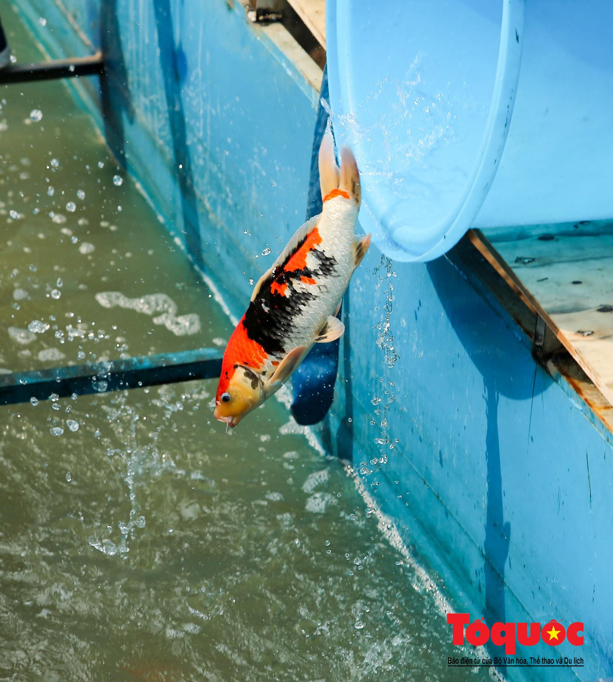 Hà Nội Thả thử nghiệm gần 100 con cá Koi Nhật Bản xuống sông tô lịch và Hồ Tây (4)