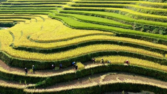 Ngỡ ngàng vẻ đẹp ruộng bậc thang Hoàng Su Phì mùa lúa chín - Ảnh 6.