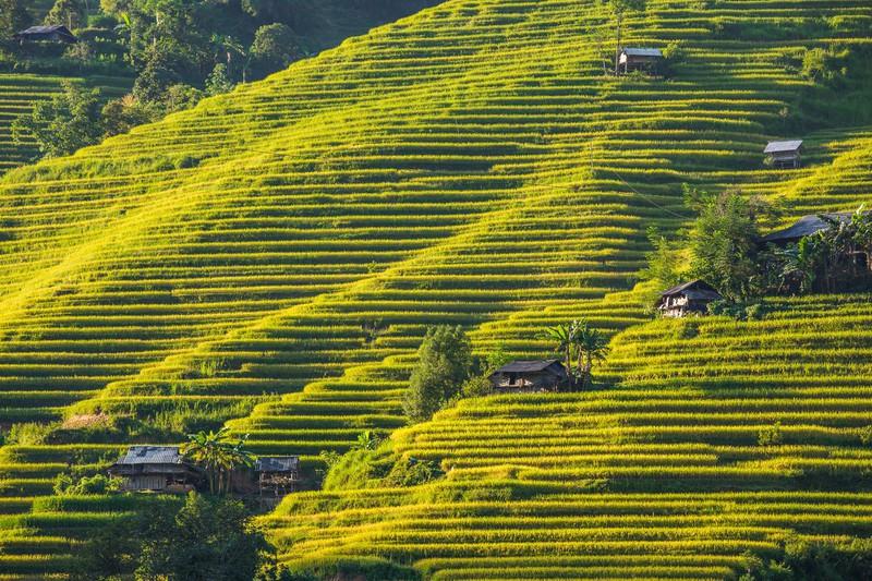 Ngỡ ngàng vẻ đẹp ruộng bậc thang Hoàng Su Phì mùa lúa chín - Ảnh 7.