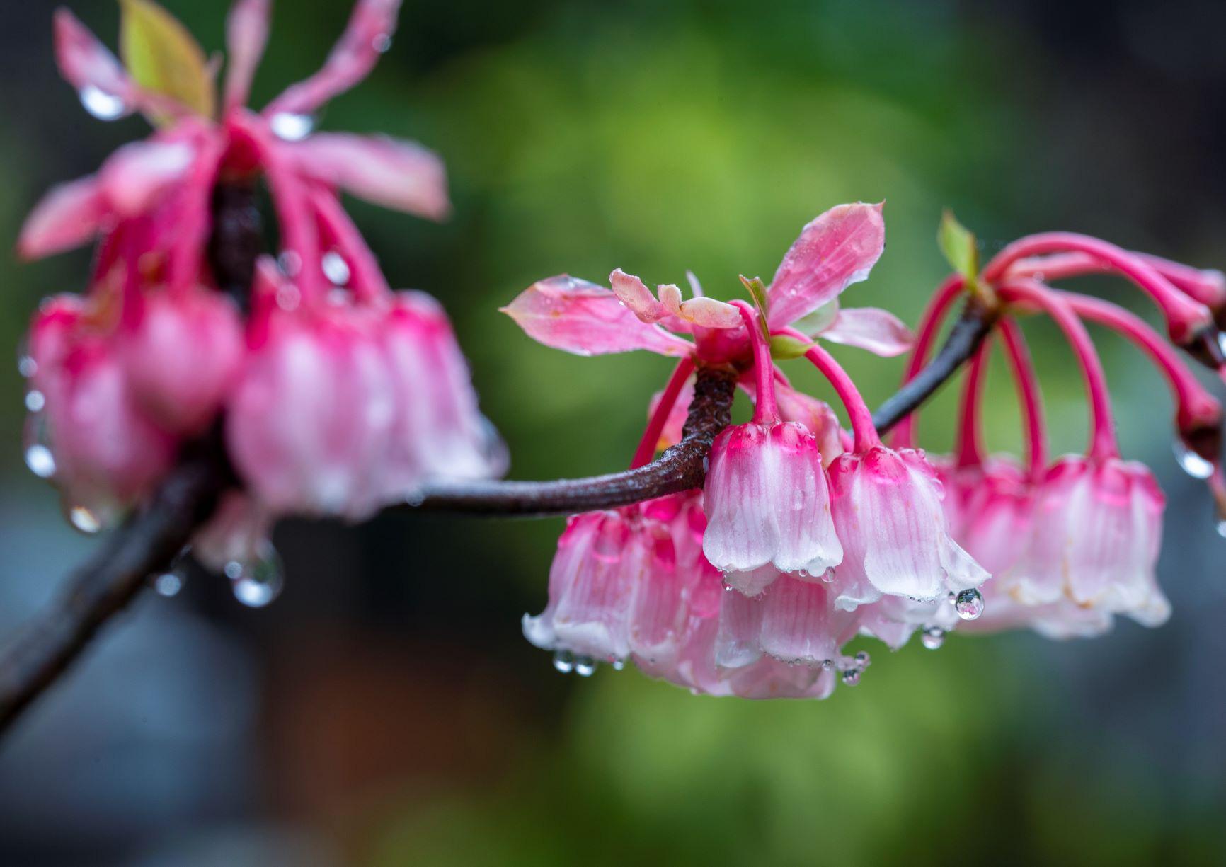 Chiêm ngưỡng hoa đào chuông độc đáo trên đỉnh Bà Nà - Ảnh 1.